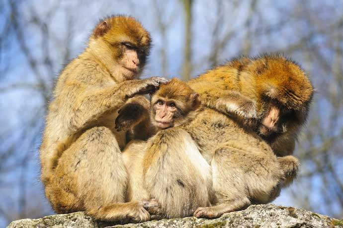 Barbary-macaque_shutterstock_266101295