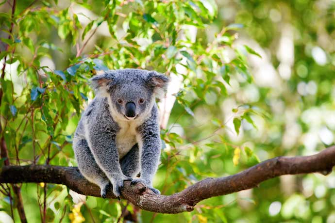Koala_shutterstock_95758504