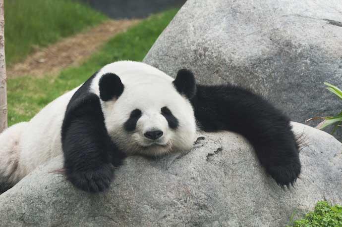 Panda_shutterstock_137297054