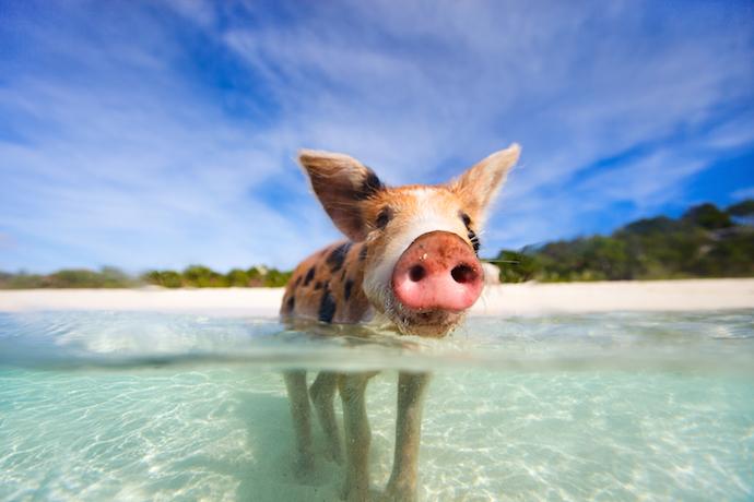 Pig_shutterstock_173441306