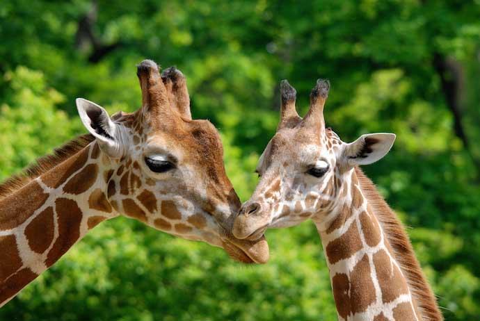 giraffe_shutterstock_171339302