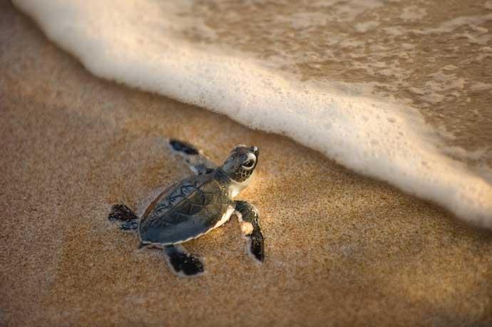 turtle2_shutterstock_91039295